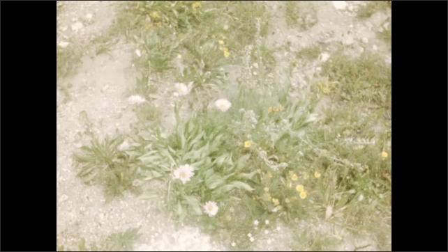 1940s: Boy on mountainside makes snowball and throws it. White flowers growing from ground. More flowers growing from ground. Purple flowers growing from ground.