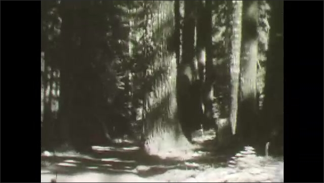 1930s: Narrow forest pathways in shade and tall trees.