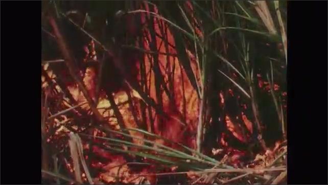 1950s: Men set fires to sugarcane fields before harvest. Fire burns through tall sugarcane plants. Stalks left behind after fires.