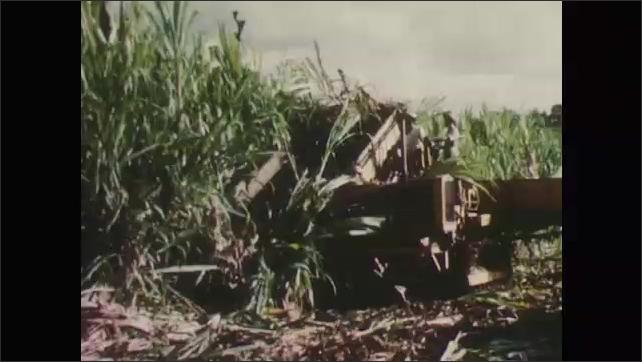 1950s: Crane lifts piles of sugarcane onto railway cars. Men drive harvesting machine over mature sugarcane crop.