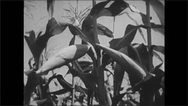 1950s: Healthy corn stalks growing in a field.