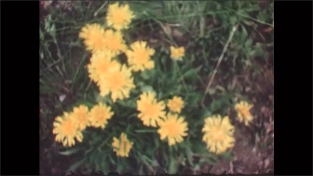 1950s: White flowers. snow-capped mountain vista. Yellow flowers, Purple flowers and pine trees. Pink flowers.