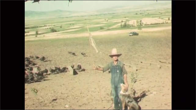 1950s: Farmer walks along herd of turkeys. Dogs chase along turkeys in field, pushing flock along. Man stands with dogs, stick and flag. Turkeys flock ahead of walking farmer and dogs.