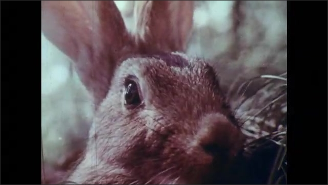 1950s: Picture book with rabbit. Rabbit sitting beneath tree in forest. Tree leaves and sky. Rabbit close up. Rabbit in forest.