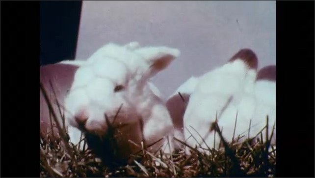 1950s: Wire fence, old and young rabbits. Brown and white rabbit at fence. Rabbit eats from white bowl.