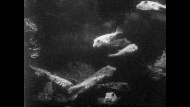 1940s: Octopus releases cloud of ink.  Tentacles.  Fish swim.  Shell.  Hand holds and squeezes blowfish.  Blowfish sits on sea floor.