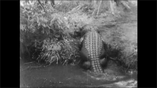 1940s: Partially submerged alligator opens mouth.  Alligators fight.  Alligator swims away.