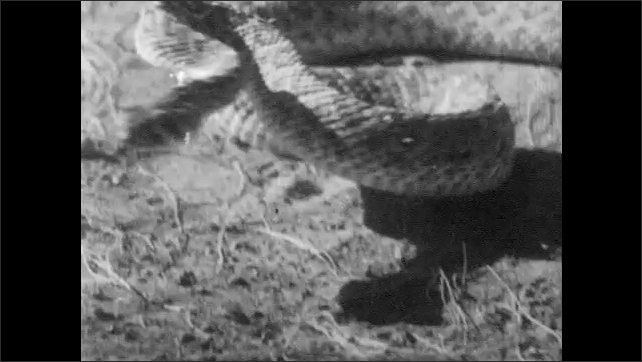 1940s: Snake strikes at wildcat.  Wildcat runs away.  Snakes shakes rattle and slithers off.  Deer and fawn run.