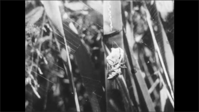 1950s: Spider spins web around prey. Praying mantis and a grasshopper sit on twig.