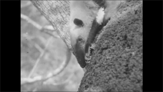 1950s: Anteater hunts for ants on a tree. Anteater digs hole into tree trunk.