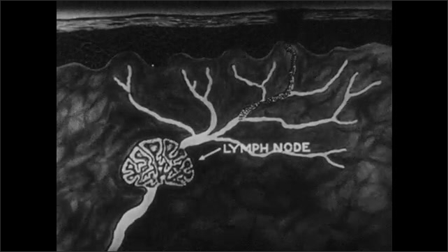 1950s: UNITED STATES: close up of skin. Animation of skin and mucus. Lymph system in human body. Blood system. Antibodies under microscope