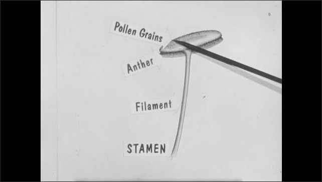 1950s: UNITED STATES: schematic drawing of plant. Pointer shows position of pollen grains, anther, stamen, and filament. Hand points at flower and pistil