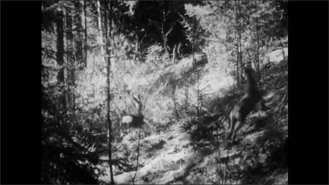 1950s: UNITED STATES: man walks quietly through woods. Deer in forest. Deer run in woods. Man looks up to trees.