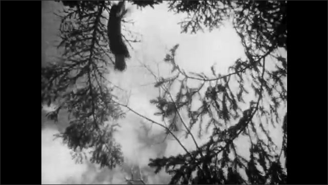 1950s: UNITED STATES: close up of pine martin. View of water in forest. Deer runs through woods. Mammal hides in tree trunk