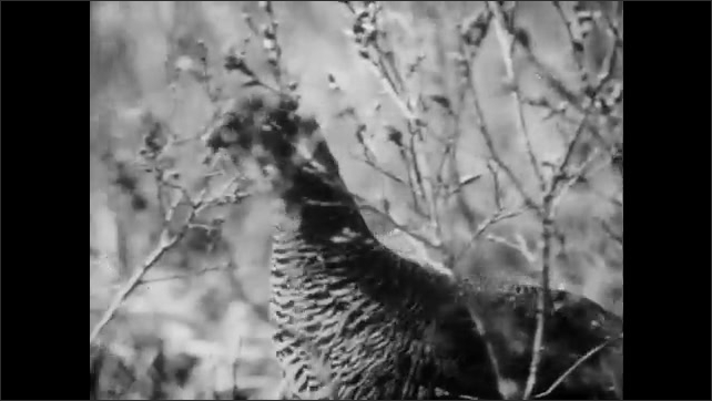 1950s: UNITED STATES: side view of man in forest. Birds in field. Man hunts birds in forest. Man shoots pheasant