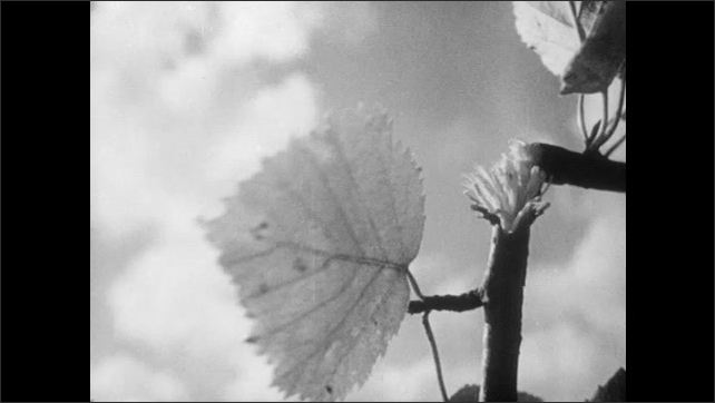 1950s: UNITED STATES: flowers blown in rain. Leaf blown in wind. Plants and blue sky