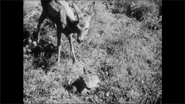 1950s: UNITED STATES: Man puts rifle over shoulder. Man collects net. Deer with baby in forest.
