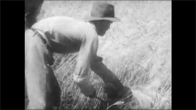 1940s: MEDITERRANEAN: man works on land. Men pick barley on plateau. Men use sickles to cut barley. Farmers in field