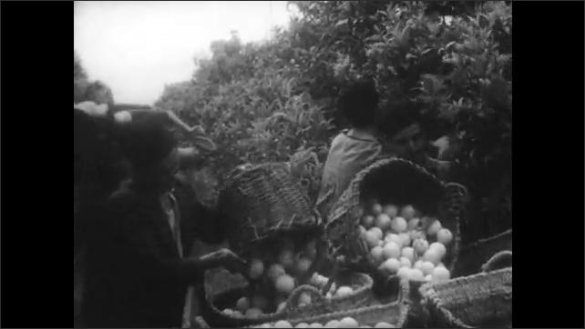 1940s: MEDITERRANEAN: water flows across sugar beets. Men collect oranges in baskets.
