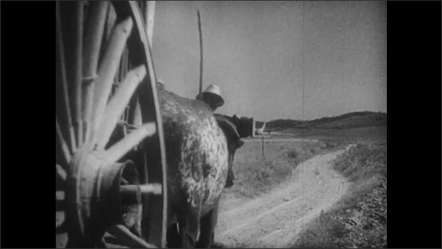 1940s: MEDITERRANEAN: farmer walks with cows and cart along track. Cart wheel on track. Empty cart