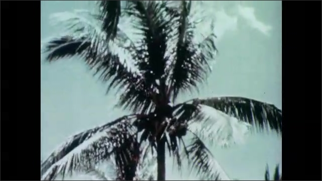 1950s: Palm trees with coconuts. Piles of coconuts laid outside. Boys sort coconuts.