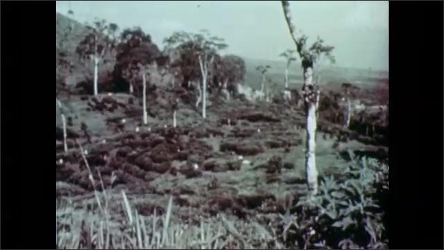 1950s: Men cut up coconuts. Sugarcane field. Mountainside with tea plants. Women walk down mountain path.