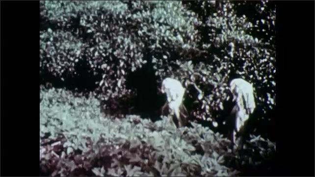 1950s: Woman walk down path to tea fields. Woman pick tea leaves.