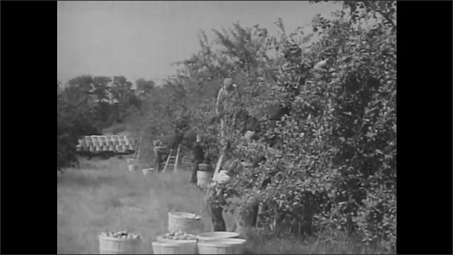 1950s: People stack tobacco leaves. Men and tractors work in fields. Men pick tomatoes. People harvest apples from orchard. Man picks apples from tree.  Men push logs onto truck bed in snow.