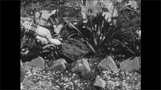 1950s: boy kneels and digs near stone garden wall, hand shakes trowel covered in mud, hand knocks trowel against rock, which clears mud off trowel