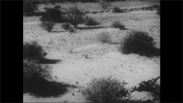 1930s: Desert landscape. Shrubs and bushes in sandy desert ground.