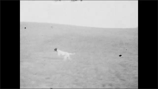 1920s: Dogs run in field.