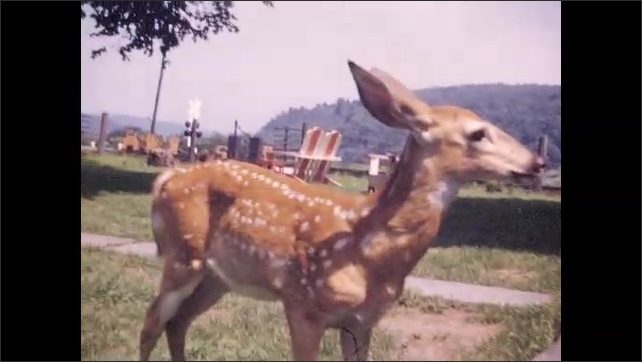 1940s: Vacationers pet, play with baby deer.