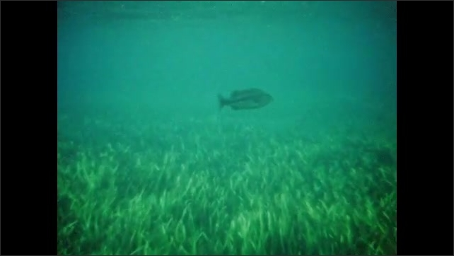 """1940s: Underwater views of fish swimming in aquamarine waters with seaweed; homemade intertitle reads """"A Fisherman's Paradise"""" with kelp."""