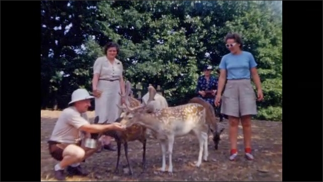 1940s: Tourists feed, pet deer and fawns in petting zoo; peacocks and white peafowl walk in meadow.
