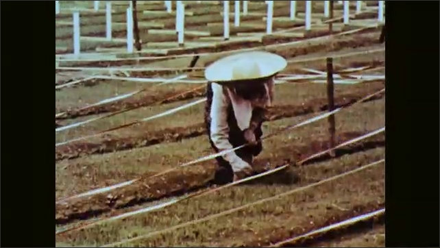 1960s: People at work in fields of crops on farm. People working on field.