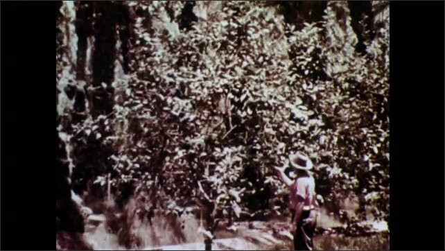 1950s: Cottony cushion scale insect and baby on limb of plant. Person looks at branches on trees in orchard. Person holds rotten fruit.