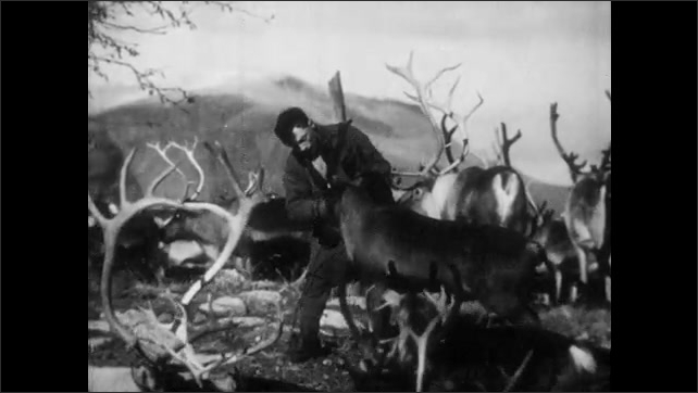 1950s: FINLAND, EUROPE: man catches reindeer in herd. Close up of man's face. Man watches reindeer. Reindeer in herd.