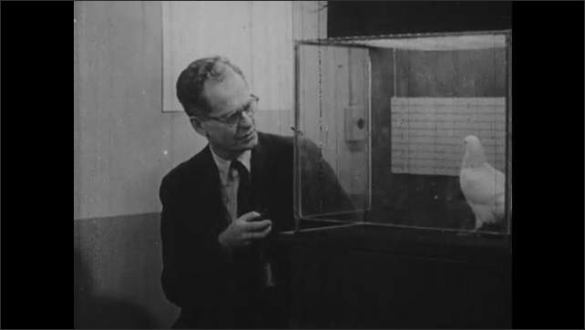 1950s: B. F. Skinner sitting next to pigeon in cage, zoom out to man by cage. Skinner talking by pigeon. Close up, pigeon eats food from slot.