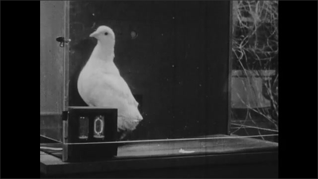 1950s: Pigeon in cage, counter in foreground, pigeon pecks at button and eats from slot.