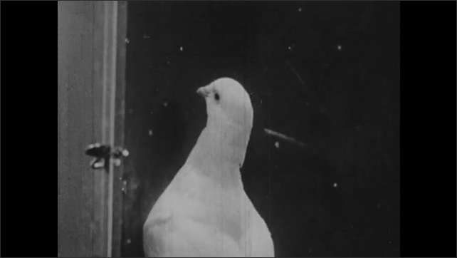 1950s: Close up, pigeon in cage picks at button, eats from slot.