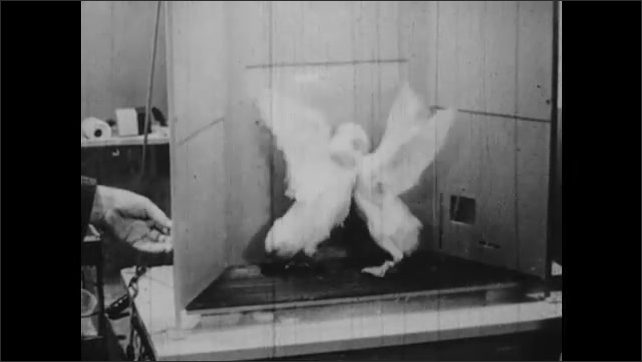 1950s: Hands holding pigeon, zoom out to B. F. Skinner talking to man, Skinner puts pigeon in cage. Pigeons fighting in cage, hand removes pigeon.