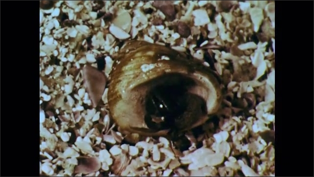 1960s: Hermit crab climbs into empty snail shell and makes itself at home.