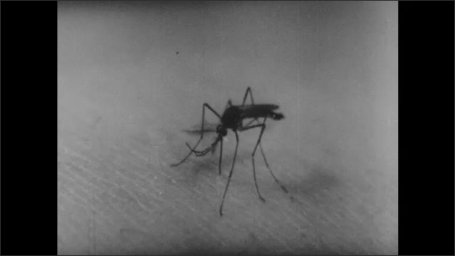 1940s: Male mosquito crouches on skin, probes skin with beak.