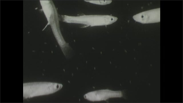 1940s: Minnows swim in freshwater amongst copepods.