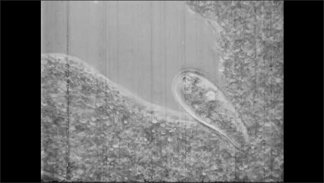 1950s: UNITED STATES: amoeba eats food. Amoeba engulfs food. Water sample under microscope.