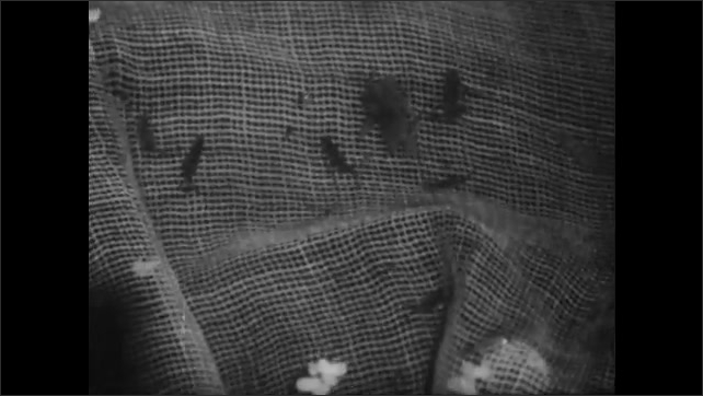 1950s: Mayfly nymph crawls on rock underwater. Net dips into pond near reeds, mayfly nymphs crawl on net.
