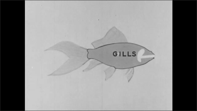 1950s: UNITED STATES: drawing of fish. Gills labeled on fish drawing. Close up of fish breathing under water