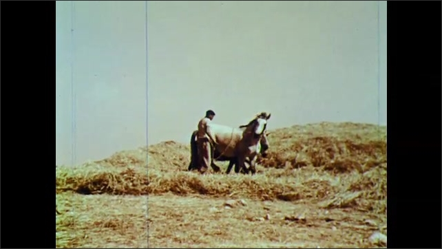 1960s: Man guides horses in circle on top of wheat. Man shovels wheat stalks onto pile.