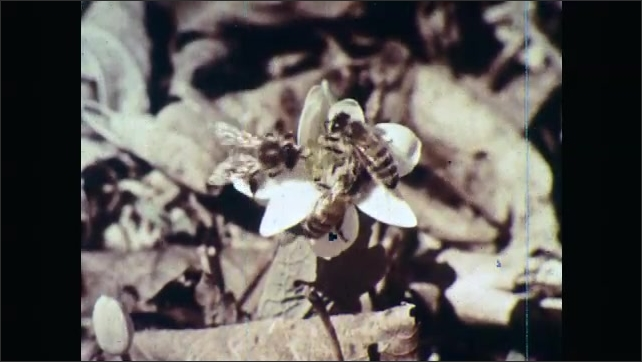 1960s: UNITED STATES: flowers on forest floor. Bees on flowers on forest floor. Bees pollinate flowers.