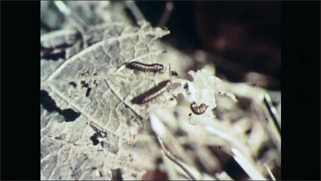 1960s: UNITED STATES: view through forest, Caterpillar on green leaf. Caterpillars eat plants in forest